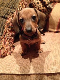 "Everybody meet ""Choco Latte"" aka Choco, CL, C. Leezy, ChocChoc, and Lattes'o'Choc my new puppy!!! Miniature #dachshund Cuteness"