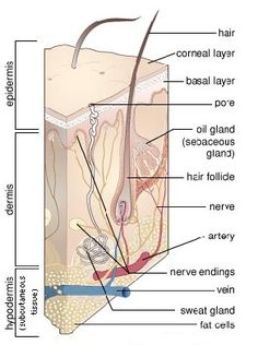 Within the dermis layer this is where the hair quality is made up. All the different glands,nerve and blood vessels will give the papilla nutrients for healthy hair to grow