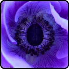The visual whirlpool of color like no other - Anemone coronaria 'Mona Lisa Deep Blue' flower