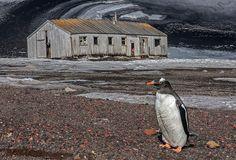 Gentoo Penguin, Whaler's Bay | Flickr - Berbagi Foto!