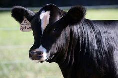 Black Baldy Semmintal Heifer