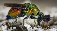 foto-vespa- Esta espécie de vespa tem chamativos corpos brilhantes.Ela coloca seus ovos nos ninhos tubulares de uma espécie de abelhas, onde as larvas se alimentam das sobras.