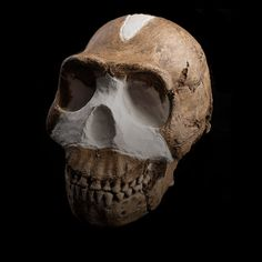 The skull of Homo naledi discovered within the Dinaledi Chamber of the Rising Star cave system in the Cradle of Humankind, South Africa.