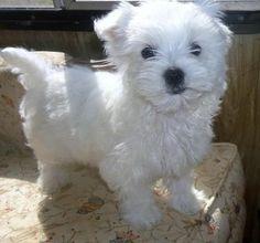 Fiona - Adorable White Maltese Girl