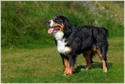 rose03 Bell Rose, Jingle Bells, Dogs, Animals, Bernese Mountain Dogs, Doggies, Animais, Animales, Animaux