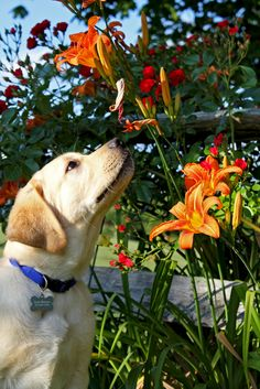 A lab stops to smell the flowers.  My lab would of just peed o them!  haha