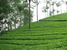 Splendid scenery of Tea Gardens spread like green carpet in over hundred kilometers