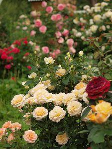 розовая феерия(на переднем плане роза Анжи (Angie® delchacre)Delbard