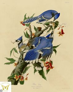 https://flic.kr/p/rEHZF2 | Blue Jay,  Cyanocitta cristata [as Corvus cristatus] and Cross Vine, Bignonia capreolata (1838) | Audubon, J.J., Birds of America [double elephant folio edition],  t. 102 (1826-1838) [J.J. Audubon]  From the Swallowtail Garden Seeds collection of botanical photographs and illustrations.  We hope you will enjoy these images as much as we do.