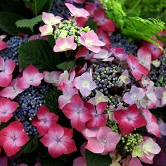 Buy hydrangea Hydrangea macrophylla Kardinal Violet - New, with big flowerheads over a prolonged period: 2 litre pot: Delivery by Crocus Hydrangea Arborescens Annabelle, Hydrangea Shrub, Hortensia Hydrangea, Hydrangea Quercifolia, Pink Hydrangea, Different Flowers, Large Flowers, Colorful Flowers, Bonito