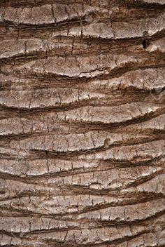 Palm Texture écorce D'arbre Banque D'Images Et Photos Libres De Droits. Image 10778585.