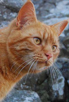 1000+ images about That orange cat! on Pinterest | Orange ...  1000+ images ab...