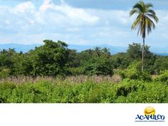 #informacionsobreacapulco La hermosa flora de Acapulco. NOTICIAS DE ACAPULCO. Acapulco cuenta con una gran diversidad de especies de plantas en todo su territorio. Dominan los árboles de hojas perenes en las zonas altas de los cerros y montañas y en las partes bajas, ahuehuete y ceiba. Los árboles frutales como mangos, almendros y limoneros, son más abundantes en la ciudad y en la costa, las palmeras. Te invitamos a conocer más de Acapulco, durante tu próximo viaje…
