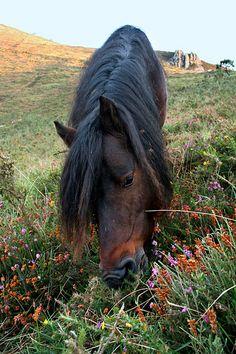 Asturcón / Asturian horse by Diego J. Álvarez, via Flickr Asturian, Horse World, Dressage, Ponies, Pretty, Pictures, Animals, Beauty, Horses