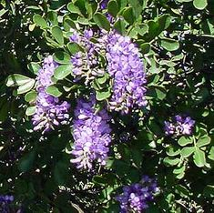 Texas Mountain Laurel: Sophora secundiflora