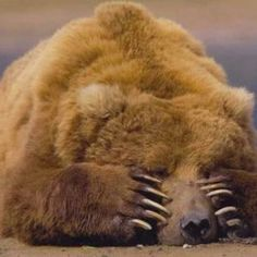 Come mai gli orsi vanno in letargo? Quando fa freddo e nevica, molti animali perdono le loro fonti di alimentazione...
