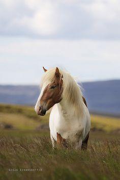 Another Icelandic horse Most Beautiful Animals, Beautiful Horses, Beautiful Creatures, Especie Animal, Mundo Animal, Wilde Mustangs, Cheval Pie, Farm Animals, Cute Animals