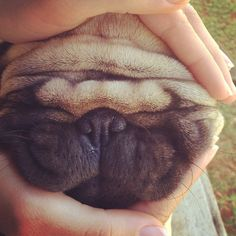 If you squish a Pug face and kinda squint your eyes, he looks kind of like a sandwich. - Jeffrey, age 5
