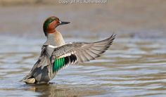 Green-winged teal drake flapping his wings after taking a bath in the shallow water. Teal Duck, American Green, Duck Hunting, Photo Reference, Beautiful Birds, Drake, Wings, Animals, Shallow