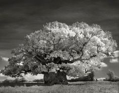 Beautiful dark twisted fantasies: the world's most ancient trees – in pictures Beth Moon, rfotofolio.org