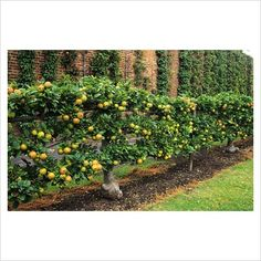 Espalier...good way to reach your fruit