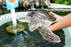 World Turtle Day Turtle Release - http://fullofevents.com/hawaii/event/world-turtle-day-turtle-release/ #hawaiievents #World Turtle Day Turtle Release