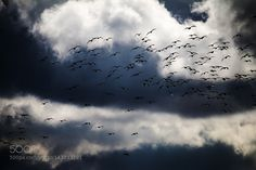 birds in the clouds by hansdewaay