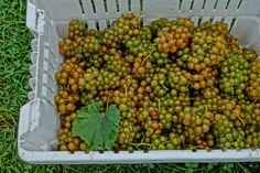 White Wine Grapes Hand Harvested in a basket 2014 - How Wine is Made from Grapes to Glass