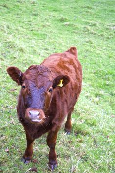 inquisitive cow