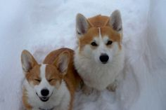 Corgis Smarty and Rosie