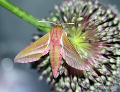 Elephant Humming Bird Hawk Moth 2 by GeaAusten.deviantart.com on @DeviantArt