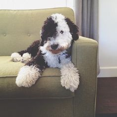 Old English Sheepdog + Standard Poodle = a Sheepadoodle. The paws! Cute Puppies, Cute Dogs, Dogs And Puppies, Doggies, Baby Animals, Funny Animals, Cute Animals, Goldendoodles, Labradoodles