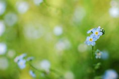 #el desenfoque de movimiento, #rocío, #primavera, #hierbas, #ternura, #Me-no tienen, #gotas, #enfocar, #Azul, #color, #hierba, #plantas, #macro, #flores, #agua