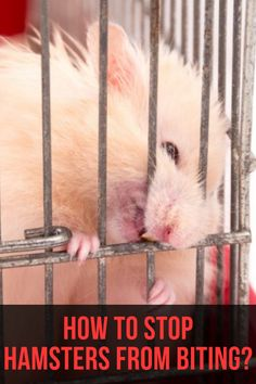 You may be wondering: Why is my hamster biting me all of a sudden? There is a way to stop hamsters from biting. So, why do hamsters bite and Syrian Hamster Toys, Diy Hamster Toys, Hamster Food, Hamster Life, Hamster Habitat, Baby Hamster, Hamster Ideas, Hamster Stuff, Robo Dwarf Hamsters