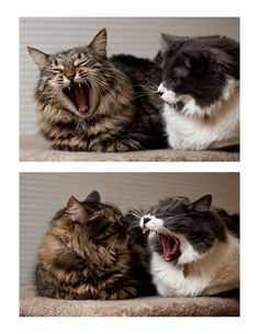 You see someone yawn & then you do....hmmmm kitties are the same