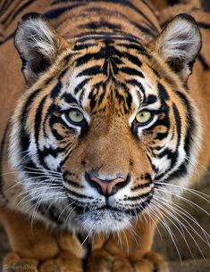 Crouching Tiger - Lions and Tigers - - Tiere - Animals Pet Tiger, Tiger Art, Bengal Tiger, Chat Bengal, Tiger Eyes, Tiger Head, Beautiful Cats, Animals Beautiful, Cute Animals