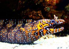 The Dragon Moray Eel Returns by https://www.deviantart.com/sapphiresphinx on @DeviantArt   fish   orange brown white