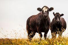September 30, 2014 - The Ladies Bovine - Angus Cross Heifer Cows  2014@Barbara O'Brien Photography