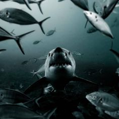 I can't wait to until I get to swim with sharks again.  Follow: 📸@pierreleopaul -.-...-..-.-.-..-.-.-..-.-..-.-.-..-.-.-.-.-.-..-.-.-. #sharktank  #mokuso #jiujitsu #jiujitsulifestyle #brazilianjiujitsu #bjj #jiujitsumemes #jiujitsutraining #jiujitsutechnique #jiujitsulife #jiujitsufamily #jiujitsugirls #jiujitsunw #jiujitsuwayoflife #jiujitsu4everyone #yoga #yoga4jiujitsu #jiujitsu4life #judo #judolifestyle #pnwbjj Jiu Jitsu Training, Jiu Jitsu Techniques, Great White Shark, Brazilian Jiu Jitsu, Shark Tank, Judo, Whale, Swimming, Yoga