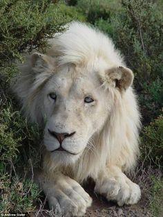 Majestic white lion #paulaschoice #beautypedia #crueltyfree