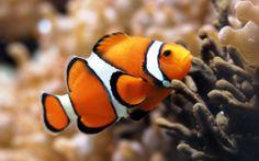 Clown fish, marine fish, corals, aquarium, diving, fishing