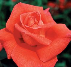 Voodoo Hybrid Tea Rose - This tall vigorous plant gives lot's of peachy-orange blooms with a heady sweet fragrance. naturally disease resistant and easy-to-grow.