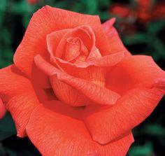 Voodoo hybrid tea rose.  A great repeat performer Types Of Roses, Types Of Plants, Orange Flowers, Colorful Flowers, Coral Orange, Cut Flowers, Water Plants, Garden Plants, Roses