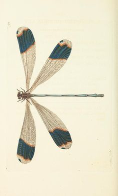 - The naturalist's miscellany, or Coloured figures of natural objects - Biodiversity Heritage Library - blue-tipped dragonfly Dragonfly Illustration, Dragonfly Drawing, Dragonfly Art, Dragonfly Tattoo, Butterfly Art, Illustration Art, Butterflies, Botanical Drawings, Botanical Prints
