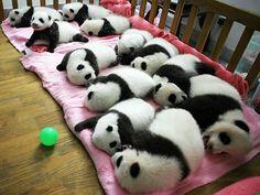 ursos panda Reserve Sichuan