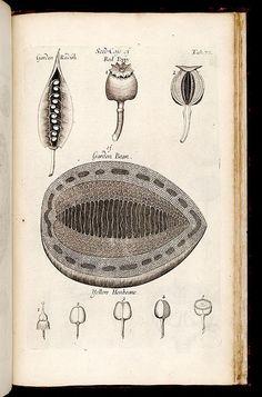 Nehemiah Grew   The Anatomy of Plants (1682) Botanical Drawings, Botanical Art, Botanical Illustration, Illustration Art, Scientific Drawing, Merian, Birds Of America, Antique Prints, Vintage Prints