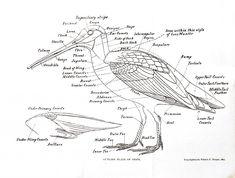 animal bird anatomy of a snipe north american shore birds a history of .