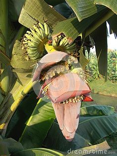 Photo about Saba Banana flowers red on tree violet flower. Image of eating, fresh, cultivated - 99745158 Banana Flower, Trees, Stock Photos, Garden, Flowers, Image, Water Colors, Garten, Tree Structure