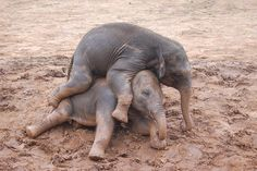 Play time at the zoo, as these two baby elephants roll around in the mud. They are so cute when they are chasing each other and playing.
