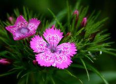 Heirloom 600 Seeds Dianthus deltoides Cardinal Carnation Maiden Pink Red Sweet William Flower Bulk Seed S042